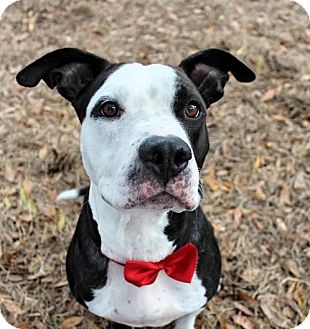 American Staffordshire Terrier Mix Dog for adoption in Bradenton, Florida - Ace