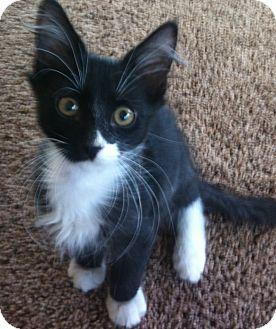 Domestic Mediumhair Kitten for adoption in Fountain Hills, Arizona - ORBIT