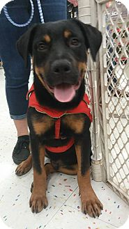 Rottweiler Puppy for adoption in Miami, Florida - Prince