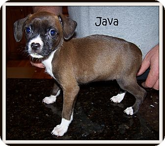 Boxer/Chihuahua Mix Puppy for adoption in Milford, New Jersey - Java