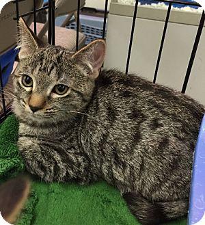 Domestic Shorthair Kitten for adoption in Sacramento, California - Luca