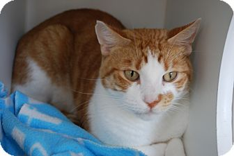 Domestic Shorthair Cat for adoption in Council Bluffs, Iowa - Dennis