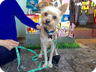 Silky Terrier/Terrier (Unknown Type, Small) Mix Dog for adoption in Los Angeles, California - Daniel Stray Lewis