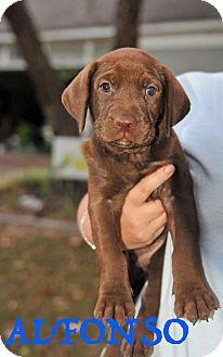 Labrador Retriever Mix Puppy for adoption in Colmar, Pennsylvania - Alfonso