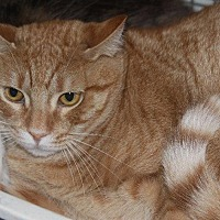 Domestic Shorthair Cat for adoption in New Bern, North Carolina - McNeil