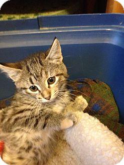Domestic Shorthair Kitten for adoption in Bridgeton, Missouri - Molly-adoption pending!
