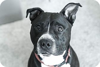 American Staffordshire Terrier Mix Dog for adoption in Grand Rapids, Michigan - Nike