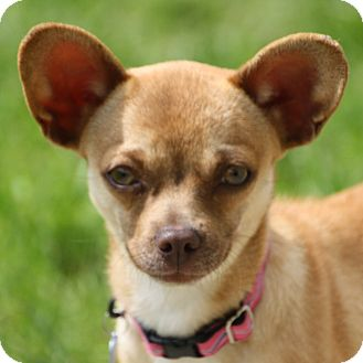 Chihuahua/Terrier (Unknown Type, Small) Mix Dog for adoption in Edmonton, Alberta - Jasmine