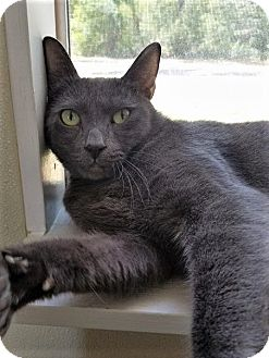 Russian Blue Cat for adoption in Umatilla, Florida - Winston
