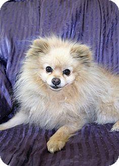 Pomeranian Mix Dog for adoption in Canyon Country, California - Zedd
