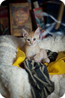 Domestic Shorthair Kitten for adoption in Tampa, Florida - Helga