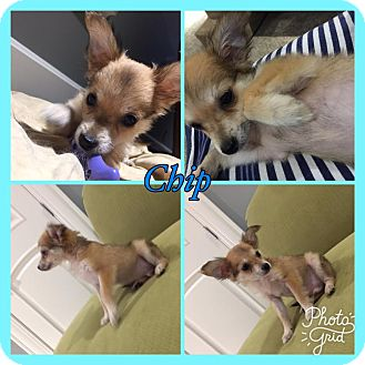 Yorkie, Yorkshire Terrier/Chihuahua Mix Puppy for adoption in Harrisonburg, Virginia - Chip Fox RBF