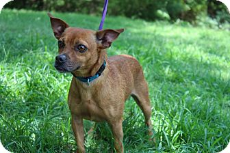 Miniature Pinscher/Chihuahua Mix Dog for adoption in Conway, Arkansas - Flash