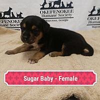 Adopt A Pet :: Sugar Baby - Waycross, GA