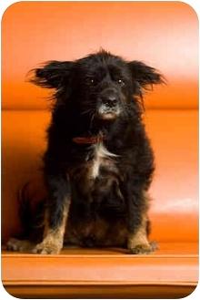 Tibetan Spaniel Mix Dog for adoption in Portland, Oregon - Ms. Sadie