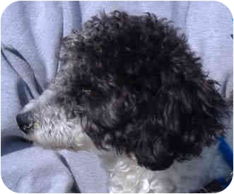Poodle (Miniature) Dog for adoption in Reno, Nevada - Boo