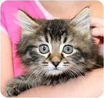 Domestic Shorthair Kitten for adoption in Phoenix, Oregon - Kittens!
