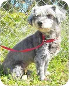 Schnauzer (Standard) Mix Dog for adoption in Jeffersonville, Indiana - Princess Gracie