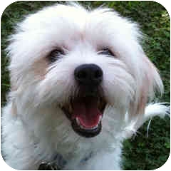 Bichon Frise Mix Dog for adoption in La Costa, California - Teddy