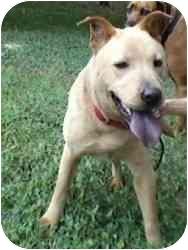 Shar Pei/Labrador Retriever Mix Dog for adoption in Dallas/Ft. Worth, Texas - Molly in San Antonio