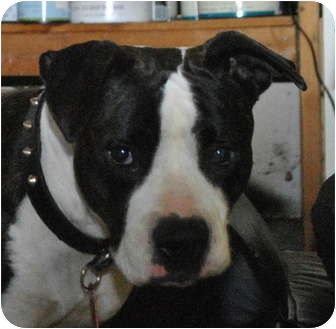 American Bulldog Mix Dog for adoption in Sacramento, California - Sundae - Sweetie!