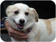 Spitz (Unknown Type, Small)/Beagle Mix Dog for adoption in Foster, Rhode Island - Bea