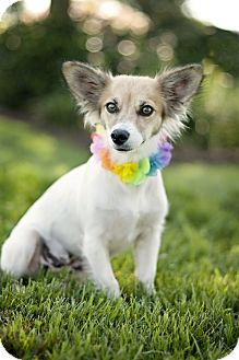 Papillon Mix Dog for adoption in Portsmouth, Rhode Island - Isis