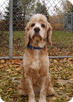 Cocker Spaniel Dog for adoption in Austin, Minnesota - Harvey