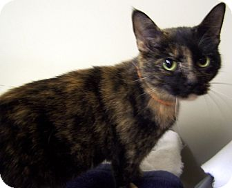 Domestic Shorthair Cat for adoption in Salem, Ohio - Cinnamon