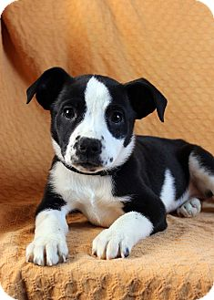 Border Collie/Boxer Mix Puppy for adoption in Westminster, Colorado - Holliday