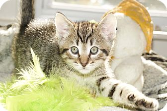 Domestic Shorthair Kitten for adoption in Berlin, Connecticut - Hollywood