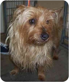 Cairn Terrier Dog for adoption in San Clemente, California - JIGGERS