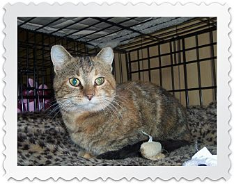 Domestic Shorthair Cat for adoption in Medford, Wisconsin - LACY