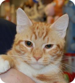 Domestic Shorthair Kitten for adoption in Brooklyn, New York - Lil Orange