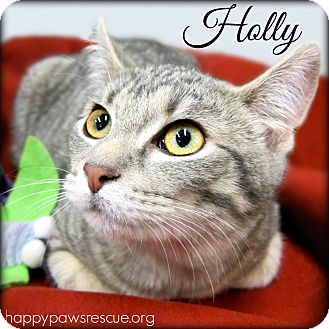 Domestic Shorthair Cat for adoption in South Plainfield, New Jersey - Holly