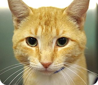 Domestic Shorthair Cat for adoption in Daytona Beach, Florida - Arthur