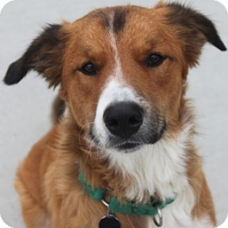 Collie/St. Bernard Mix Dog for adoption in Naperville, Illinois - Shaggy