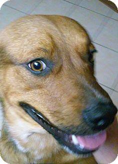 Australian Cattle Dog/German Shepherd Dog Mix Dog for adoption in Phoenix, Arizona - Riley