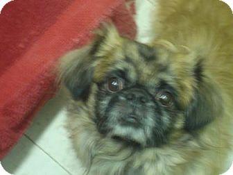 Tibetan Spaniel Mix Dog for adoption in Philadelphia, Pennsylvania - Buddy