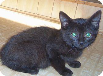 Bombay Kitten for adoption in Medford, Wisconsin - SADA
