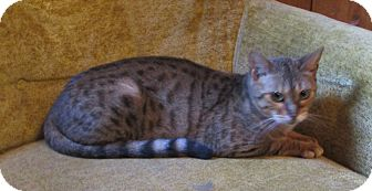 Bengal Cat for adoption in Witter, Arkansas - Jewel (pure-bred Bengal)