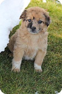 Collie/Australian Shepherd Mix Puppy for adoption in New Oxford, Pennsylvania - Harlow