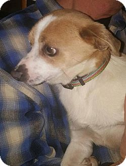 Chihuahua Mix Dog for adoption in Madison, Wisconsin - Frankie