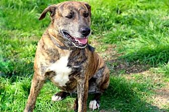 Labrador Retriever/Mountain Cur Mix Dog for adoption in Sussex, New Jersey - ELLA MAY