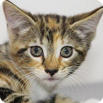Domestic Longhair Kitten for adoption in Salem, Massachusetts - Estefania