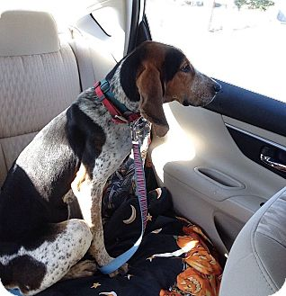 Bluetick Coonhound Mix Dog for adoption in Nashville, Tennessee - Fancy