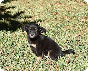 Chihuahua/Pekingese Mix Puppy for adoption in South Dennis, Massachusetts - Brendon
