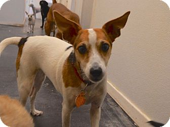 Rat Terrier Mix Dog for adoption in Austin, Texas - Bubbles