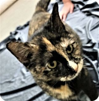 Domestic Shorthair Cat for adoption in Montgomery City, Missouri - Souffle