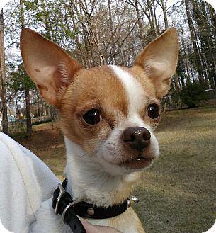 Chihuahua Mix Dog for adoption in CUMMING, Georgia - Paco